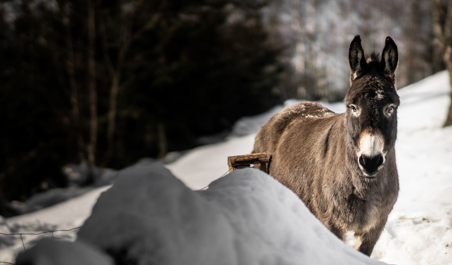 Donkey standing in the snow at Buchenberg Mountain in Bavaria Mammal Animal Themes Animal One Animal Animal Wildlife Livestock Nature Snow Day No People Winter Animal Head  Donkey Horse Wildlife Pony Winter Brown Close Up Edit Nature Animals In The Wild Tree White Background