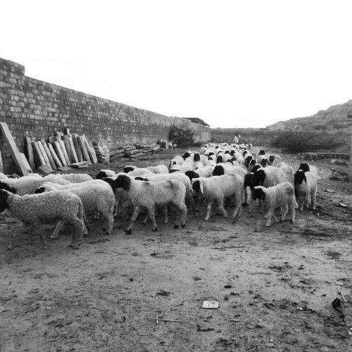 Instasize Sheep Herd Outings  B_n_w Desire820 Tired Jodhpur