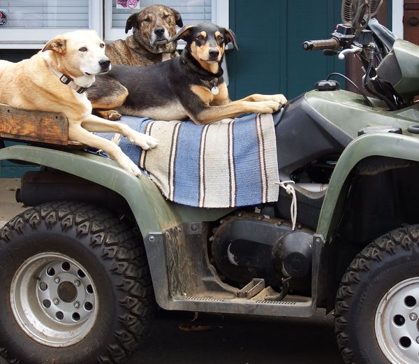 Dogs Relaxing On Quadbike