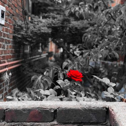 한국 대한민국 꽃 장미 빨강 아름다움 돌담 주택 Korea Beautiful Follow #f4f #followme #TagsForLikes #TFLers #followforfollow #follow4follow #teamfollowback #followher #followbackteam #followh Flower Rose🌹 Rosé Red Picture Photography Photo Shot Nature Day Seoul Like Good Followme