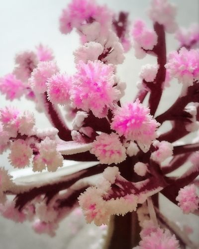 Pink Color Blossom Flower Close-up Springtime No People Majic桜