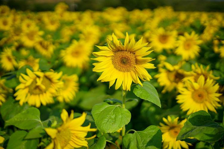 Sunflower Field in South India Ijas Muhammed Photography India Sunflower Beauty In Nature Close-up Day Field Flower Flower Head Flowering Plant Focus On Foreground Fragility Freshness Green Color Growth Inflorescence Nature No People Outdoors Petal Plant Pollen Selective Focus Vulnerability  Yellow