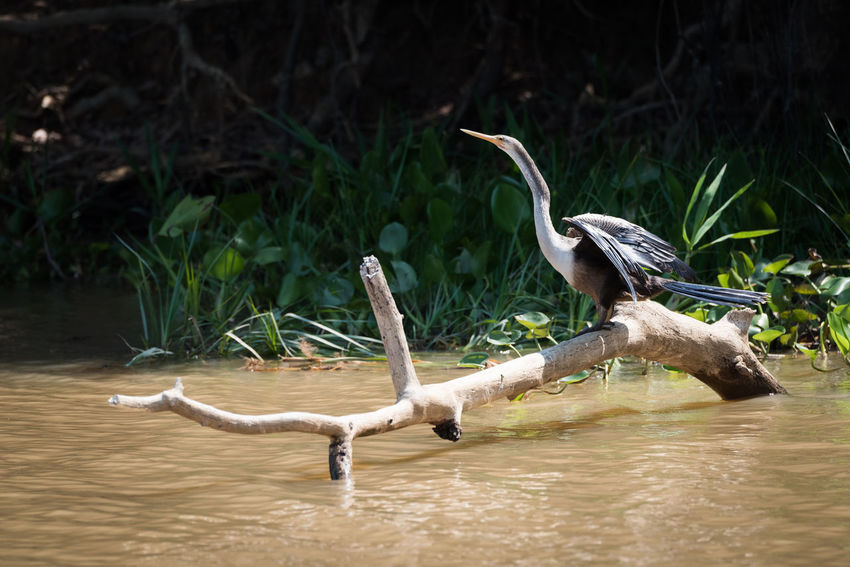 Animal Themes Animal Wildlife Animals In The Wild Bird Day Gray Heron Nature No People Outdoors Pelican Reptile River Spread Wings Water