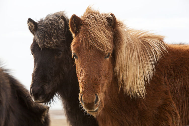 Animal Themes Close-up Cow Day Domestic Animals Iceland Iceland Memories Iceland Trip Iceland_collection Icelandic Horse Icelandic Horses Livestock Mammal Nature No People Outdoors Side View Sky Travel Travel Destinations Travel Photography