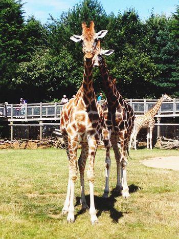 Giraffe Zoo Animals Summer