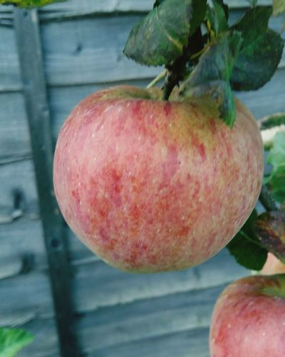 A Beautiful Close-up of a Apple Growing on a Apple Tree . Featuring Fruit Food And Drink Red Healthy Eating Food Freshness Tree No People Outdoors Growth Nature Leaf Beauty In Nature Plant Day Ripe Organic Homegrown Healthy Lifestyle Leaves
