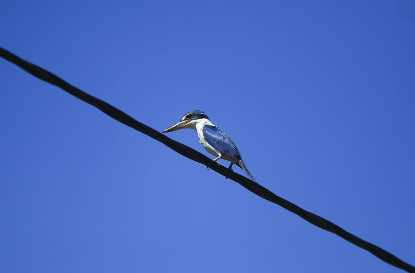 Kingfisher perched on cable electric with blue sky background Animal Animal Themes Animal Wildlife Animals In The Wild Bird Blue Branch Clear Sky Copy Space Day Eagle Low Angle View Nature No People One Animal Outdoors Perching Sky Sunlight Tree Vertebrate