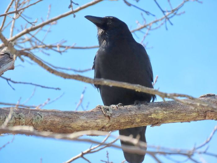 Black bird crow perched on a bare tree branch low angle view clear blue sky beauty in nature birds of EyeEm Animal Themes One Animal Bird No People