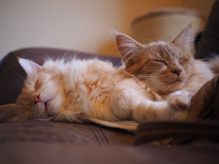 Cozy Cosy Happy Content Snooze Sleeping Sleepy Sleeping Cat Pet Pets Two Cats Snore Cat Nap Cuddles Cuddling Fluffy Fluffy Cat Cute Cute Pets Cute Cats Indoors  White Cat Ginger Cat Pet Portraits