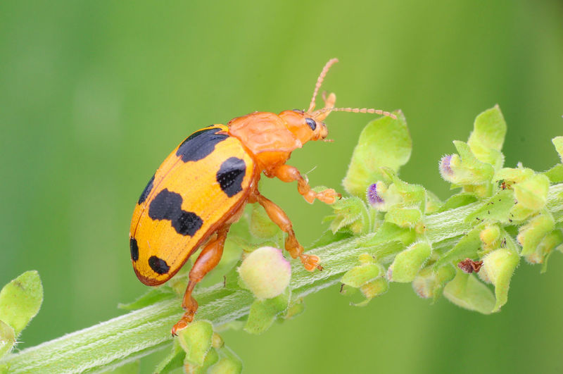Ladybird in my garden. Orange Insect Green Background Pest Insect & Plant Standing Tall Macro Photography Ladybird🐞 Insect & Flower Ladybug🐞 Macro Insect  Small Insect Macro Ladybug Insect Photography Ladybug Leaf Insect Animal Leg Macro Perching Close-up Animal Themes Plant Beetle Animal Antenna Bug Wildflower