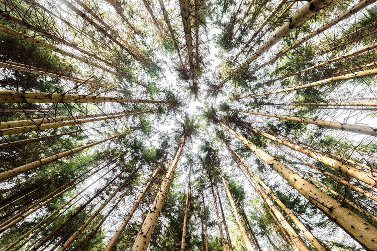 Looking up pine trees crowns branches in woods or forest. Woodlands of Slovenia. Bottom view wide angle background photo. Tops of trees from ground view. Branches DEEP FOREST Forest View Nature Pine Slovenia Spruce Tree Tree Tree Trunk Trees View Wood Branches And Leaves Forest Looking Up Pine Tree Spruce Tops Of Trees Tree Crown Tree Crowns Trees And Nature Trunk Trunk Tree Vertical Wood - Material