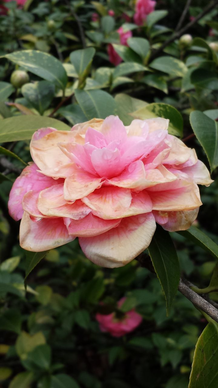 flower, nature, pink color, petal, plant, beauty in nature, fragility, no people, growth, rose - flower, flower head, outdoors, close-up, blooming, wild rose, leaf, day, freshness