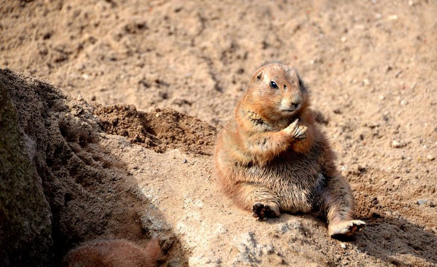 Sand Games Play Paw Finger Mammal Rodent Cute Nature Photography Wildlife Photography Wildlife & Nature Beauty In Nature Tender Moments Sand Close-up