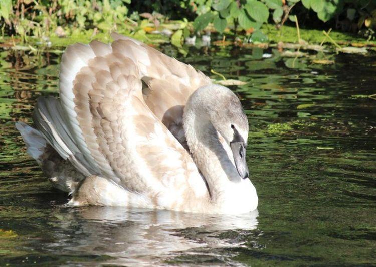 Swan Animal Themes Water Animal Animals In The Wild Animal Wildlife Lake Bird
