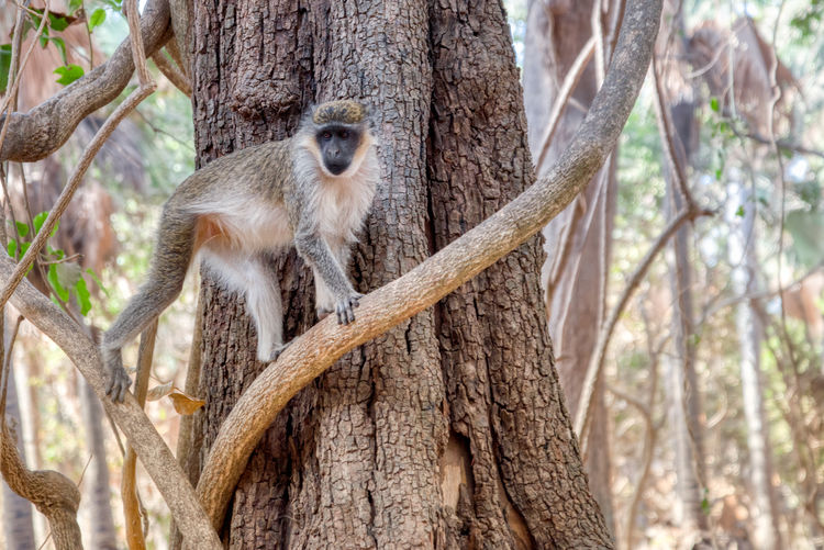 Green velvet monkey at Bijilo National Park Tree Animal Wildlife Animal Animal Themes Animals In The Wild Mammal Tree Trunk Trunk One Animal Plant Vertebrate Primate Focus On Foreground Nature Branch No People Monkey Forest Day Land Outdoors