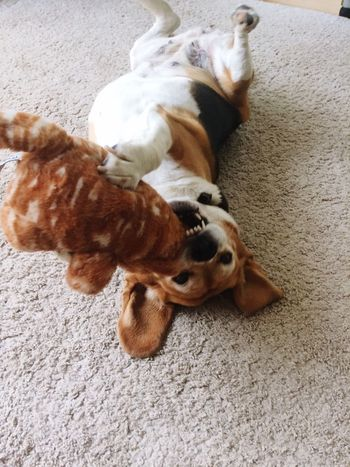 Dog Domestic Animals Pets One Animal Beagle Beaglelove