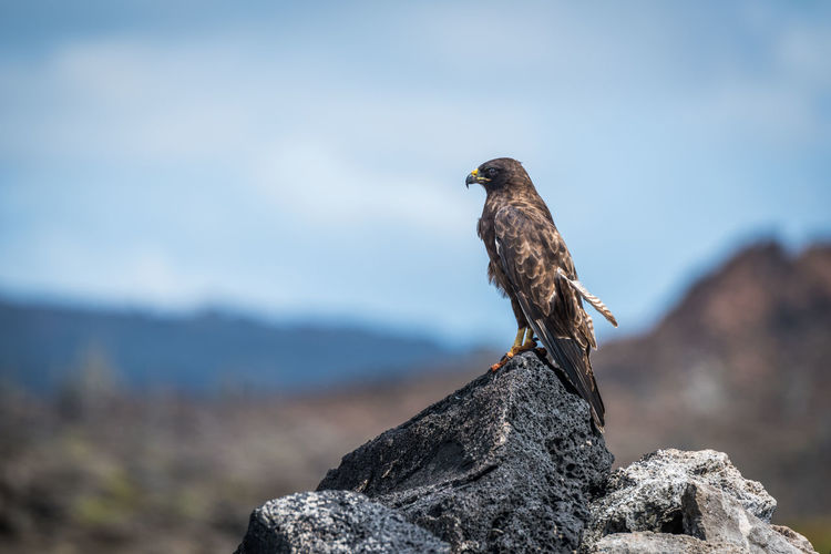 Hawk perching on rock against blue sky during sunny day