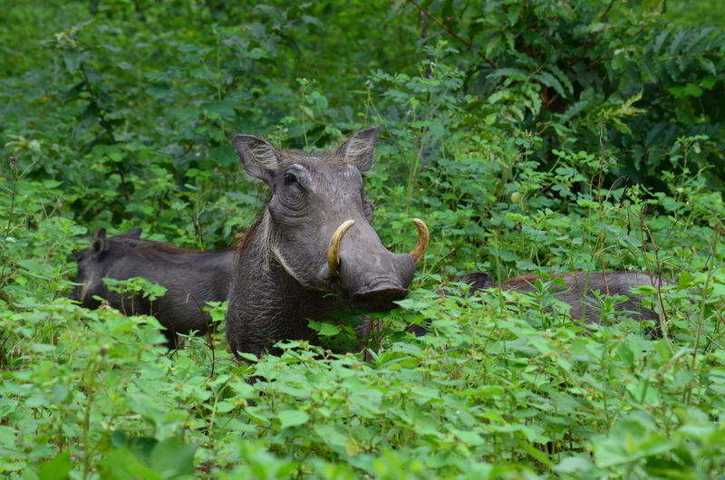 Portrait of a warthog amid plants