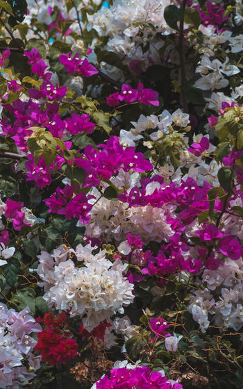 Colorful Flowers Flowering Plant Flower Freshness Beauty In Nature Vulnerability  Fragility Plant Petal Growth Pink Color Nature Close-up Flower Head Day Inflorescence No People Outdoors Abundance Park Full Frame Bunch Of Flowers Purple Lilac Texures Flowers