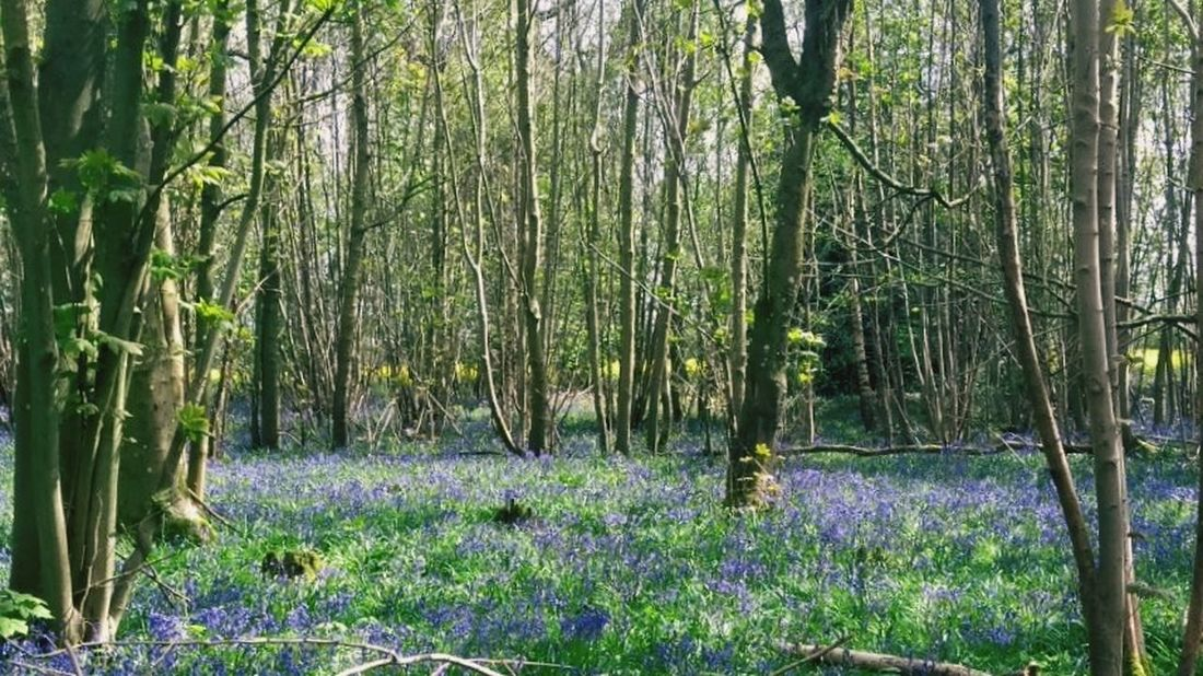 Nature Tree Forest Outdoors Beauty In Nature Growth Day Tranquility No People Tree Trunk Scenics Green Color Tranquil Scene Landscape Grass Lush - Description Bluebells Bluebell Wood