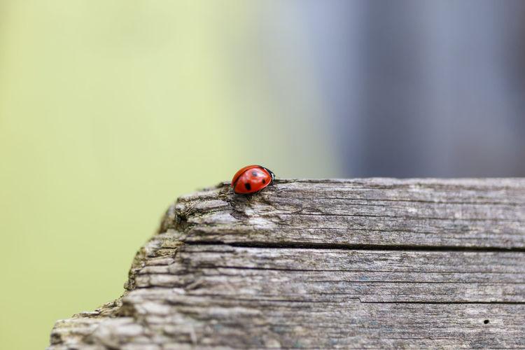 Ladybug On Wooden Plank