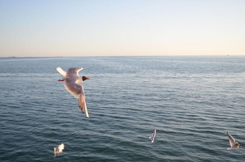 Gull Whale