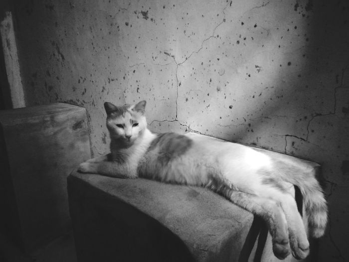 Domestic Cat One Animal Animal Themes Animal Feline Pets Looking At Camera Portrait No People Mammal Indoors  Domestic Animals Sitting Day