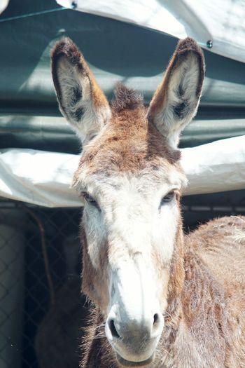 Mammoth Donkey Donkey Mammoth Donkey Mammal Animals Farm