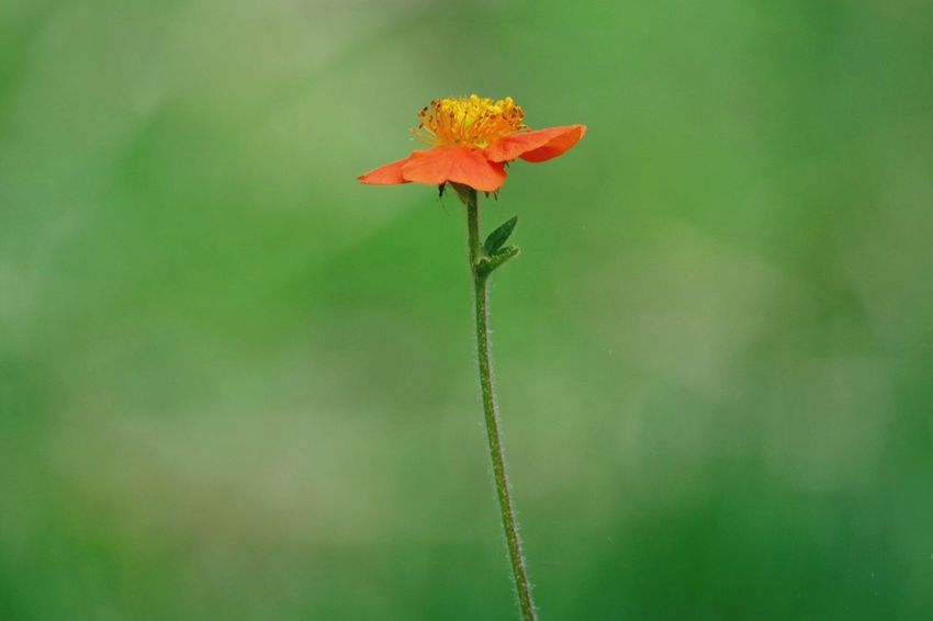 A Single Orange Flower Nature Fragility Flower Beauty In Nature Close-up Growth Plant Freshness No People Leaf Outdoors Day Water Flower Head