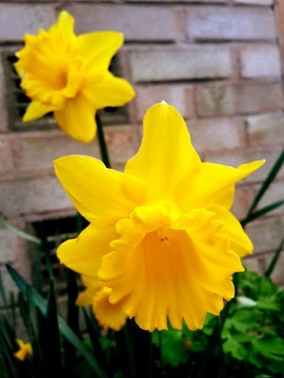 Spring is here! Daffodils Flowers Depth Of Field Macro Beautiful Nature Summer Is Coming Spring
