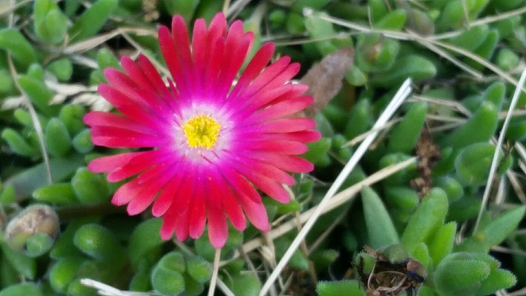 Delosperma ICE PLANT Flower Fragility Petal Beauty In Nature Flower Head Nature Freshness Growth Pink Color Blooming Plant No People Pollen Outdoors Close-up Day Millennial Pink