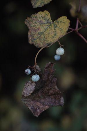 この実の色葉の色がたまら〜ん\(//∇//)\ Nature Leaf Beauty In Nature Close-up Seeds ノブドウ Ampelopsis Fragility Seed