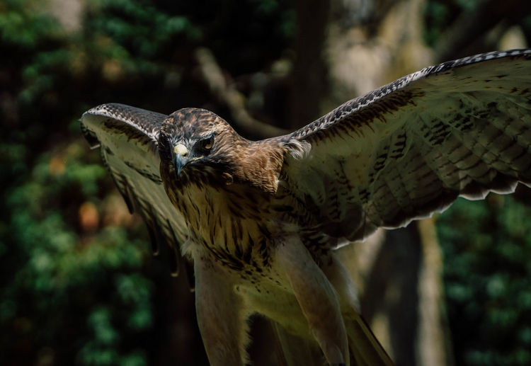 Close-up of red-tailed hawk flying outdoors