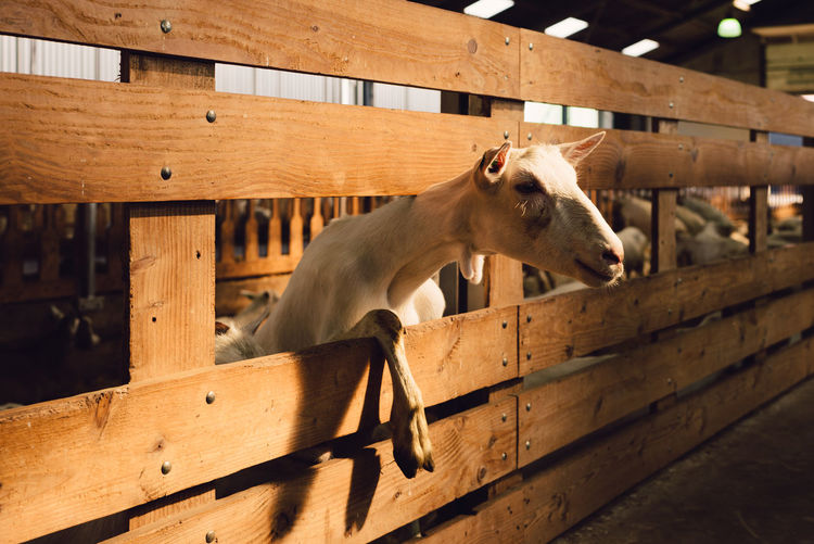 Horse in a wooden fence