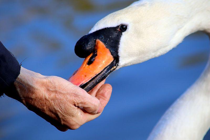 Swan Human Hand