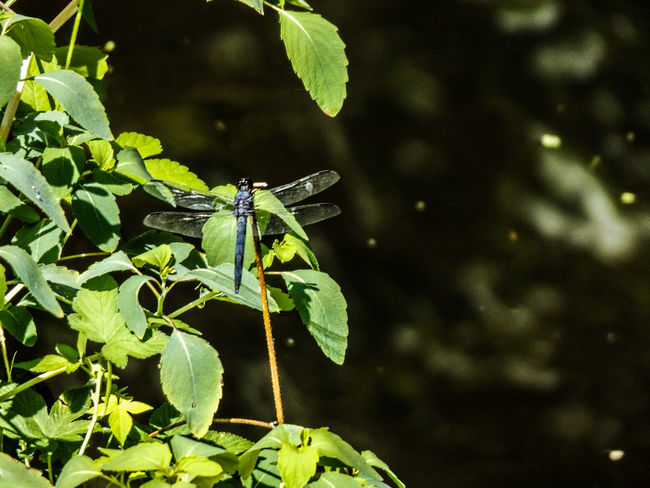 Nature Plant Outdoors Insect Bethlehem PA Pennsylvania Dragonfly Photography Dragonfly Sand Island