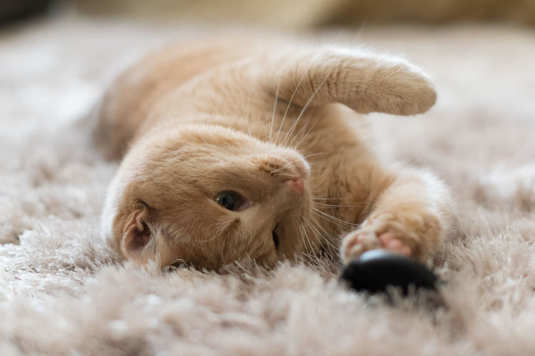 Close-up of cat lying on rug at home