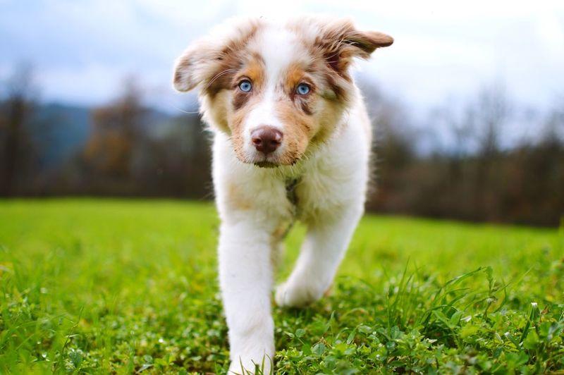 Dog Australianshepherd Welpe Puppy Hund Chien Blue Eyes