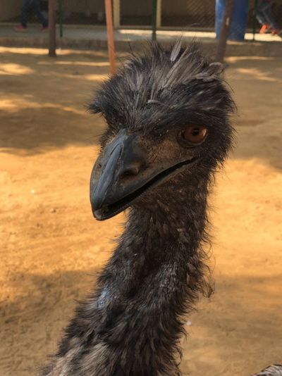 Close-up of ostrich in zoo