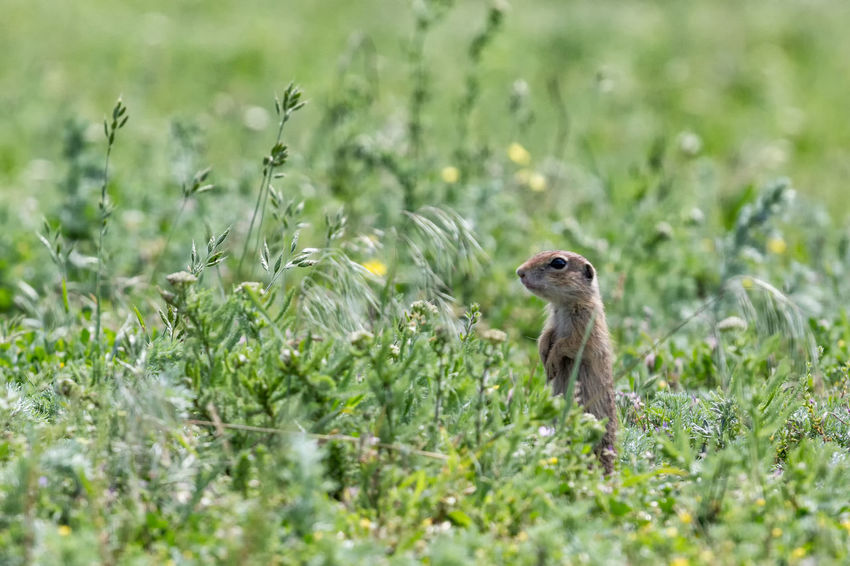 European  Field Funny Spermophilus Citellus Adorable Animal Wildlife Animals In The Wild Brown Curious Cute Fauna Furry Grass Ground Squirrel Herbivore Land Lovely Mammal Meadow Nature Outdoors Plant Prairie Rodent Watching