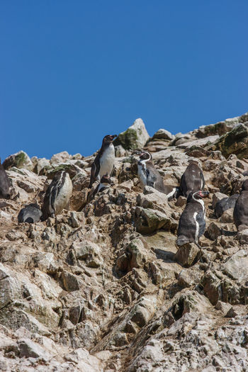 Peru Ballestas Islands Beauty In Nature Day Humboldt Penguin Islas Ballestas Outdoors Paracas Penguins Sky