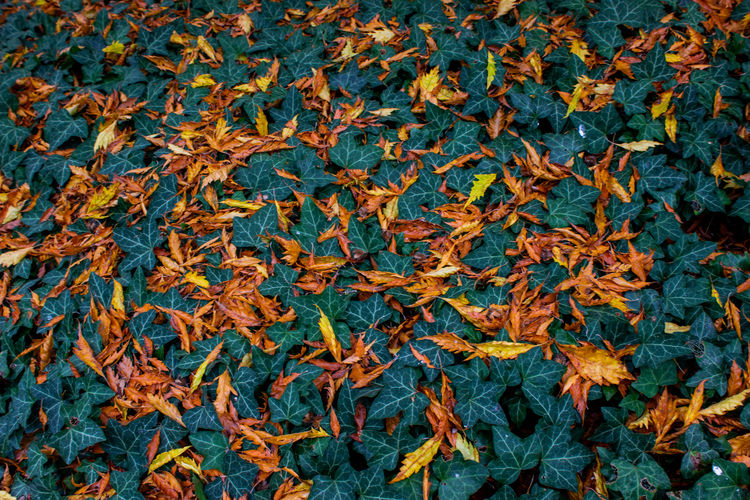 fall colors Leaf Plant Part Full Frame Backgrounds Autumn Nature No People Change Day Leaves Beauty In Nature Close-up High Angle View Plant Orange Color Directly Above Dry Outdoors Abundance Natural Pattern Maple Leaf Natural Condition Autumn Collection