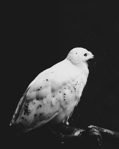 Snow-Owl profile VSCO Cam Animal