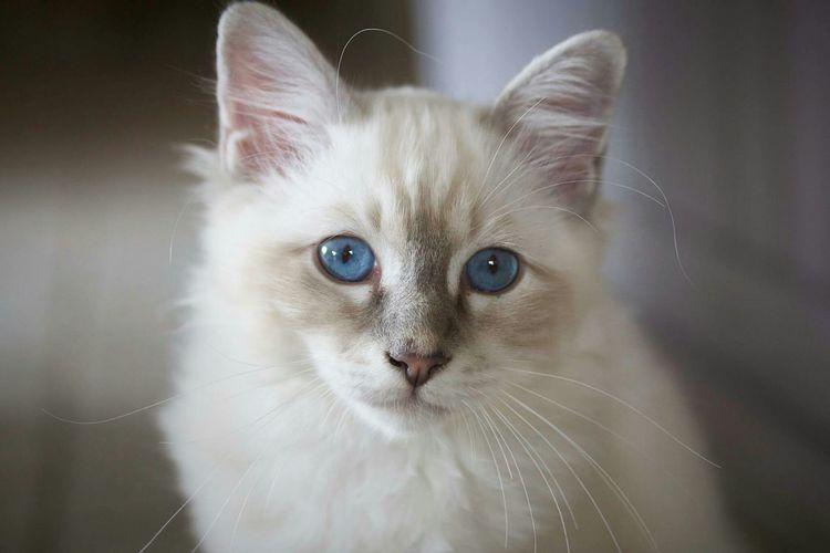 My cat Lhassa Cat Chaton