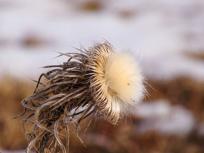 Close-up of wilted dandelion
