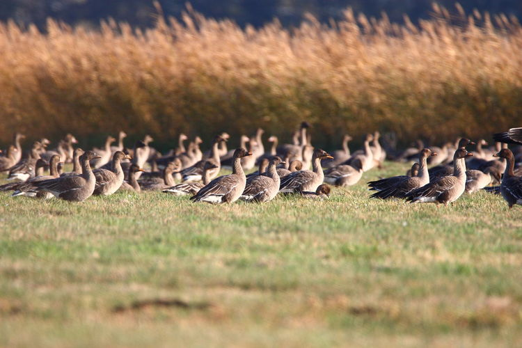 Bean geese (Anser fabalis) and white-fronted geese (Anser albifrons) Flock Of Birds Goose Beauty In Nature Large Group Of Animals Group Of Animals Bird Animal Themes Animals In The Wild Animal Wildlife