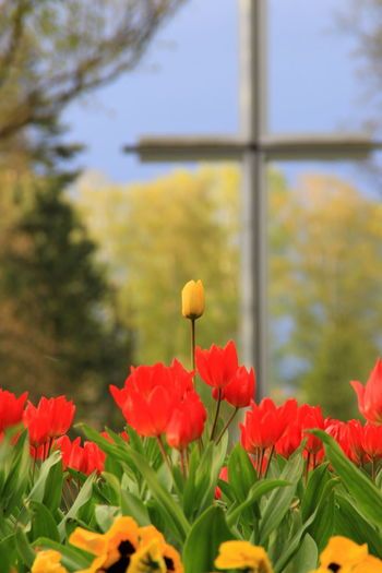 Beauty In Nature Botany Cemetery Cross Flower Focus On Foreground Fried Friedhof Frühjahr Kreuz  Spring Springtime Tulpis Tuple
