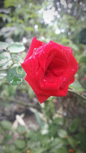 Flower Red Rose - Flower Petal Beauty In Nature Love Close-up Day Freshness Plant Outdoors