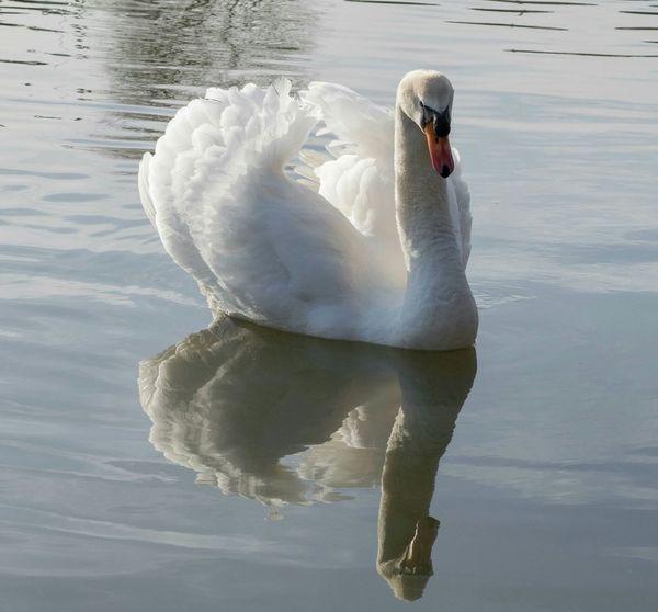 Swan Swan Lake Swans Swanlake Swan Series White Swan Swan River