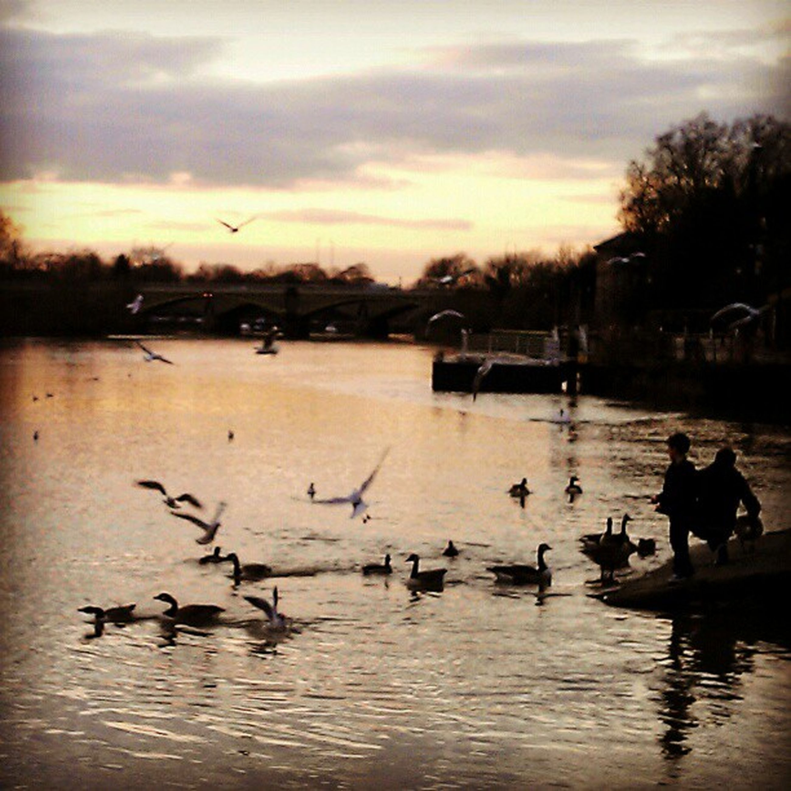 bird, animal themes, water, animals in the wild, wildlife, flock of birds, sky, lake, sunset, duck, reflection, silhouette, cloud - sky, nature, waterfront, tree, swan, flying, swimming